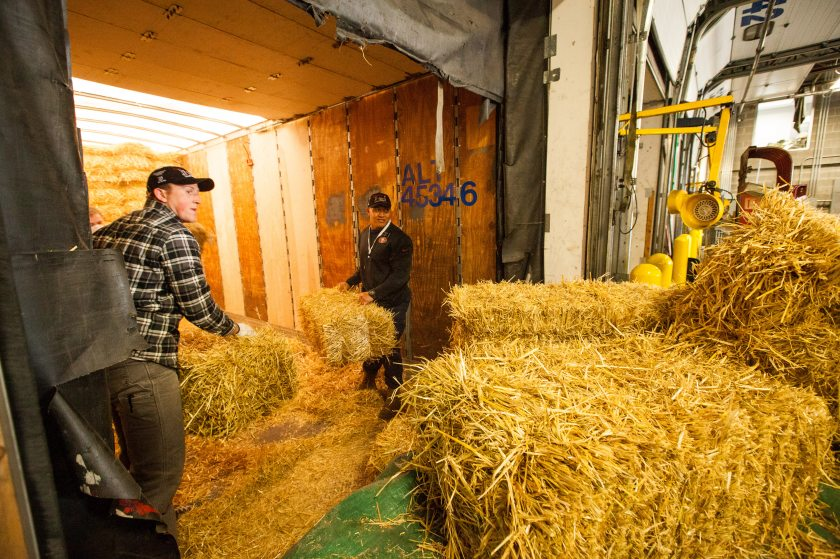 Mason Mohr from Sacremento and Hiamani Naa from Tonga, both Latter Day Saint missionaries, toss bales of straw Feb. 11, 2016 to volunteers to bag. Forty Iditarod volunteers fathered at Air Land Transport's warehouse to pack 1,500 bales of straw to ship to Iditarod checkpoints. (Tara Young/Alaska Dispatch News)