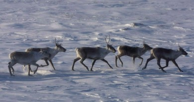 Wild caribou roam the tundra in Nunavut on March 25, 2009. Nathan Denette/THE CANADIAN PRESS