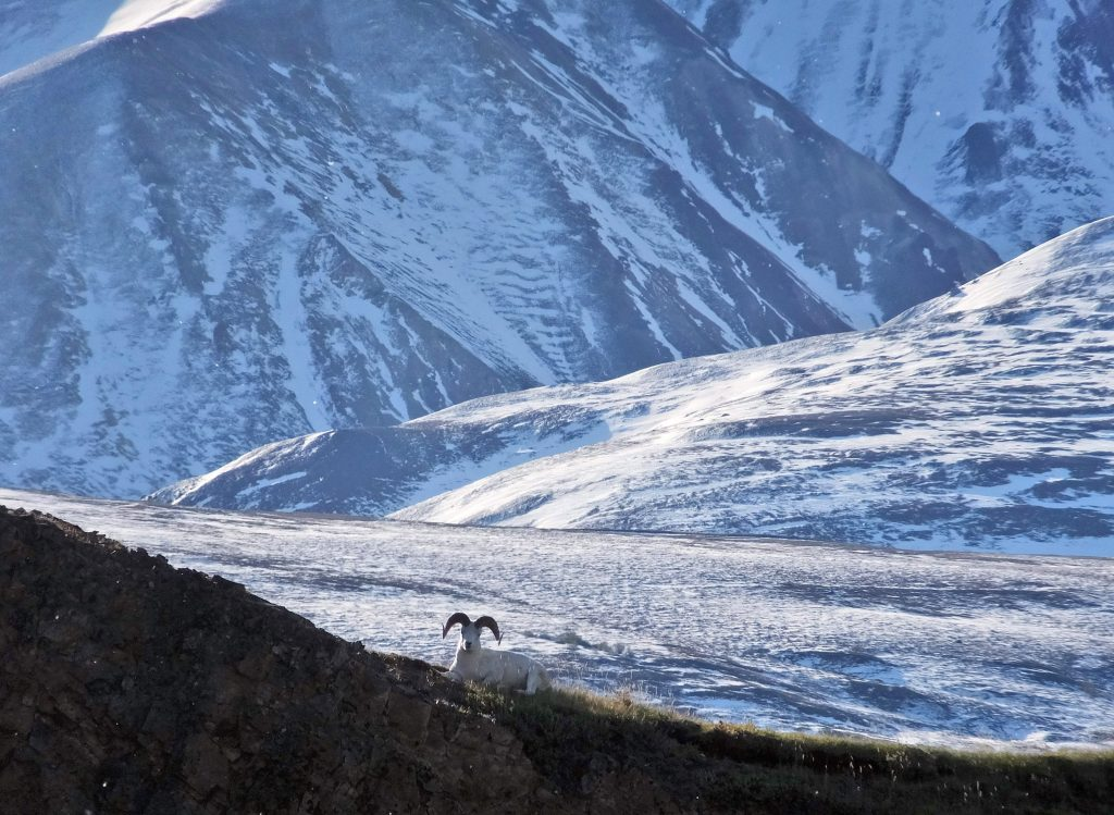 A Dall sheep lounges on a ridge line, Wednesday, Sept. 2, 2015, in Denali National Park and Preserve, Alaska. Becky Bohrer/AP Photo