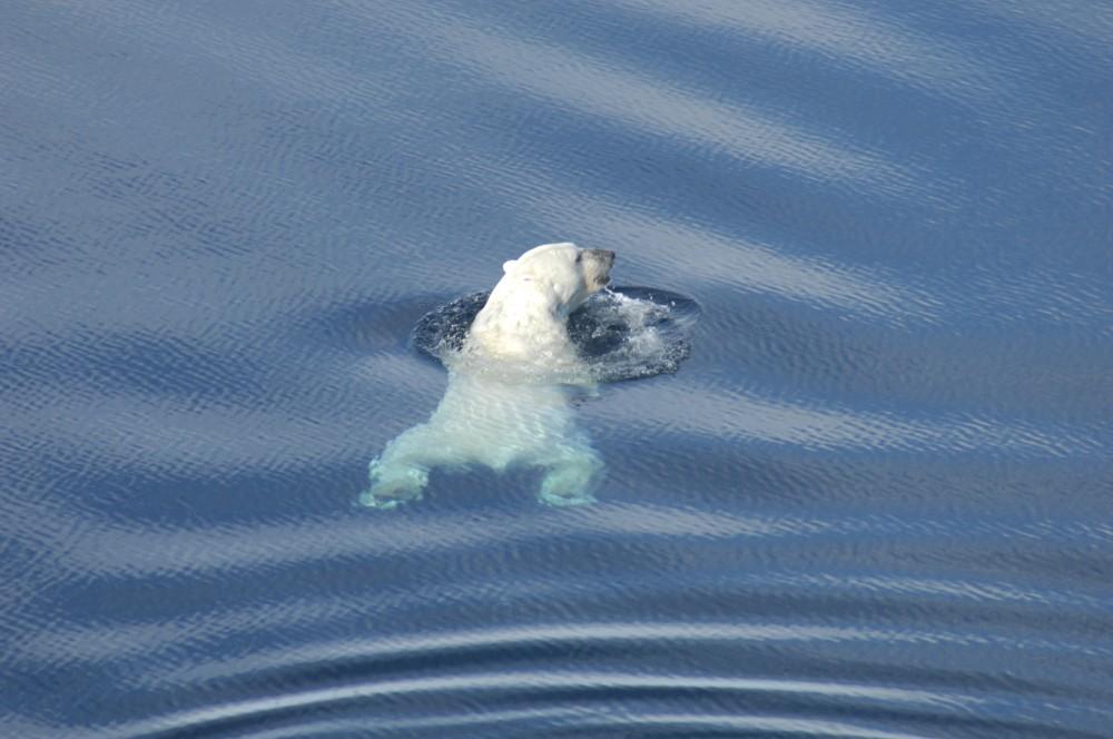 Polar bear swimming in the Beaufort Sea, near Tuktoyaktuk, NWT, Canada April 27, 2009. Photo: A.E. Derocher, Univ. of Alberta