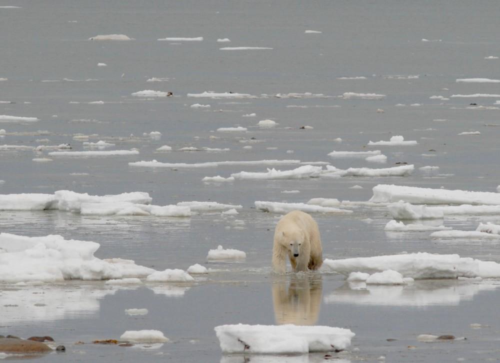 Polar bear walking onshore along the coast of Hudson Bay near Churchill, Manitoba, autumn 2012. Photo: A.E. Derocher/Univ Alberta