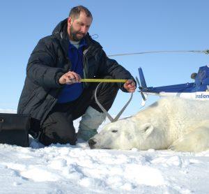 Professor A.E. Derocher (PhD) taking measurements from a polar bear in the Beaufort Sea near Tuktoyaktuk, NWT, Canada April 25, 2009. Photo: University of Alberta