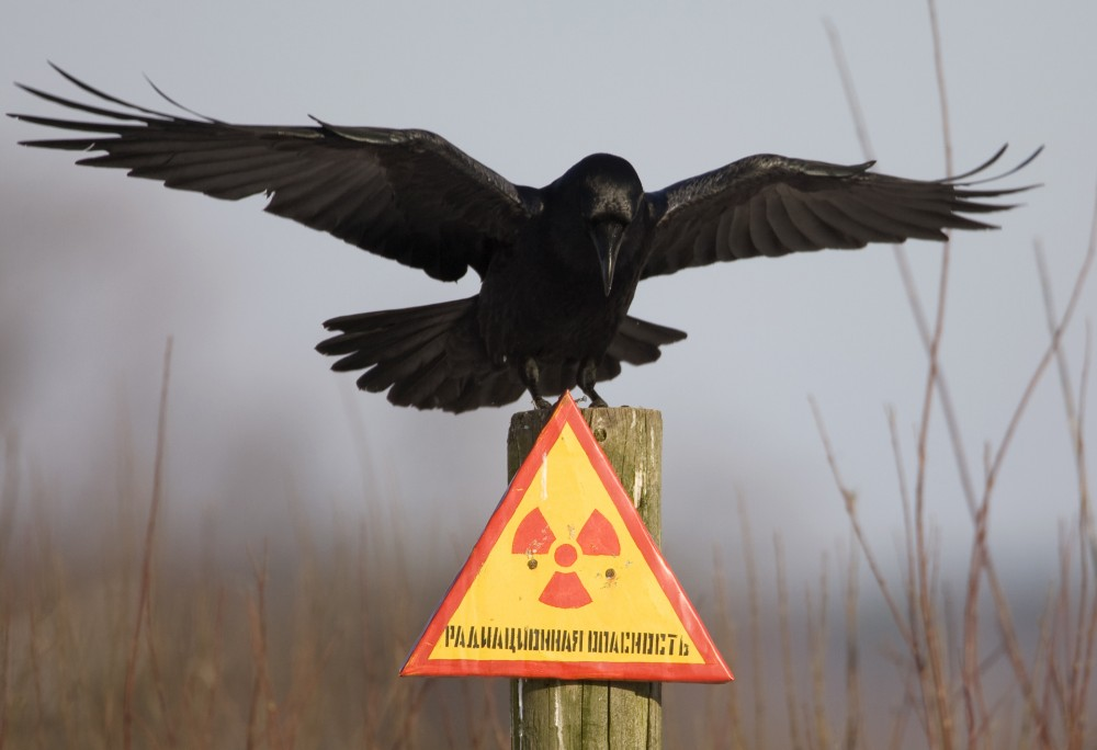 "A raven stretches its wings as it sits on a post inside the 30 km (18 miles) exclusion zone around the Chernobyl nuclear reactor near the village of Babchin, some 370 km (217 miles) southeast of Minsk, December 23, 2009. The sign reads: ""Radiation hazard"". Vasily Fedosenko /REUTERS"