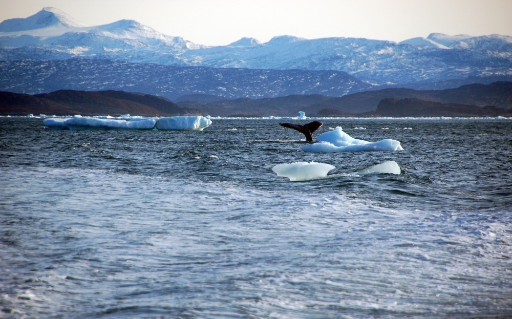 A whale dives into sea off the coast of Greenland's capital Nuuk October 17, 2012. Alistair Scrutton /REUTERS