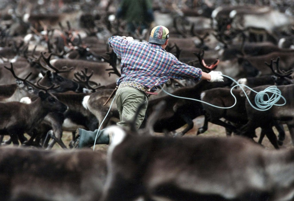 A Sami throws a lasso towards a herd of reindeer while corralling the animals in northern Sweden. REUTERS/FILE PHOTO