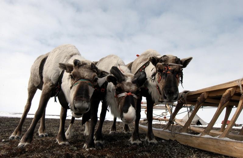 The Kolguyev reindeers are believed to have starved to death en-masse. (Thomas Nilsen/The Independent Barents Observer)