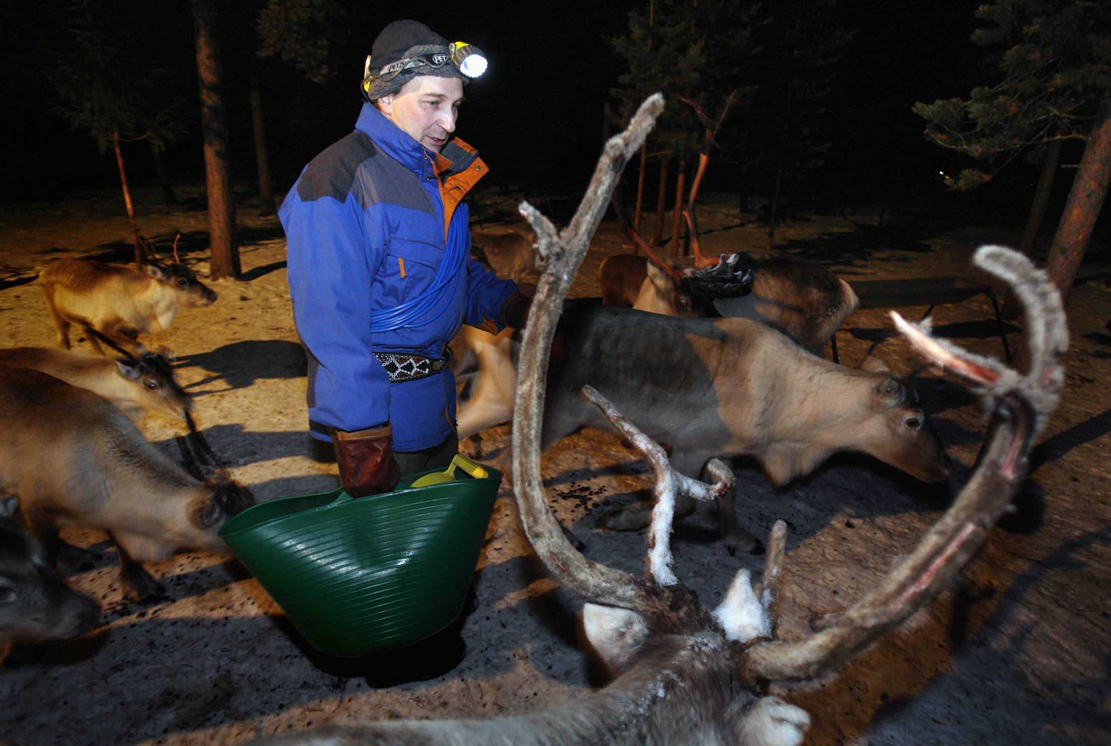 Nils Torbjorn Nutti, a Sami reindeer herder, feeds his herd in Jukkasjarvi, Sweden December 24, 2006. (Bob Strong / REUTERS)