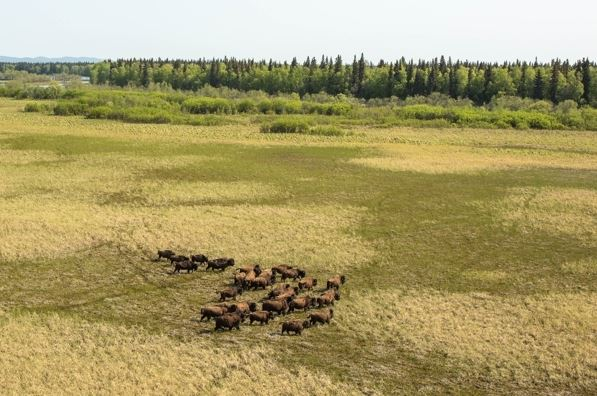 A wood bison herd in a sedge meadow in the Innoko River area on May 26 (Loren Holmes / Alaska Dispatch News)