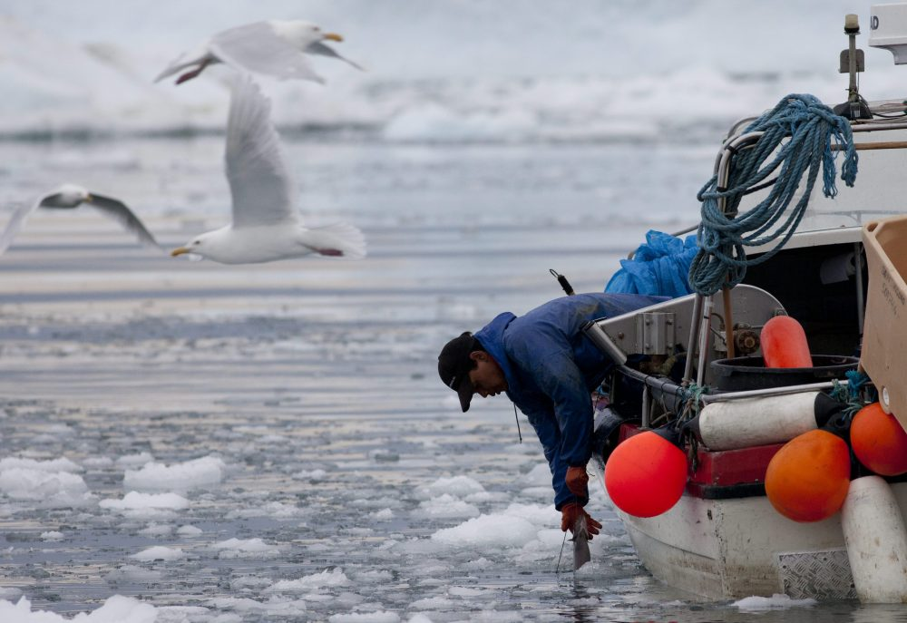 In this July 18, 2011 photo, an Inuit fisherman pulls in a fish on a sea filled with floating ice left over from broken-up icebergs shed from the Greenland ice sheet in Ilulissat, Greenland. (Brennan Linsley/AP Photo)