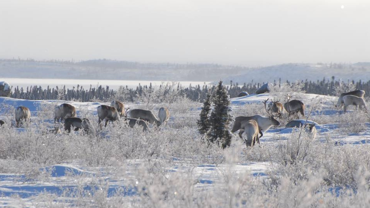 Caribou is an important element of Inuit diet. But Inuit elders say that because the climate has changed the caribou habits, they are thinner and taste different. Photo Credit: (ENR/GNWT)