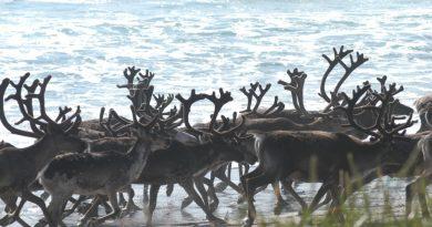 Reindeer herds grow on Russian tundra