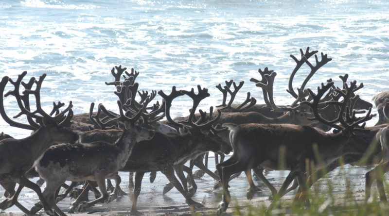 Reindeer populations grow significantly in Russia, while they shrink in Norway. Photo: Thomas Nilsen