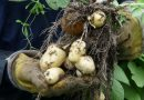 Constant rain threatens potato crop in northwest Finland