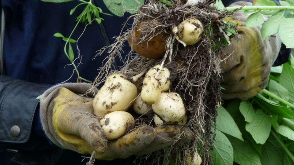 The organisation representing Finland's farmers, forest owners and rural entrepreneurs says about 70 percent of the country's certified seed potatoes originate in Northern Ostrobothnia. Rainy weather is threatening this year's crop. (Tarja Nyyssönen/Yle News)