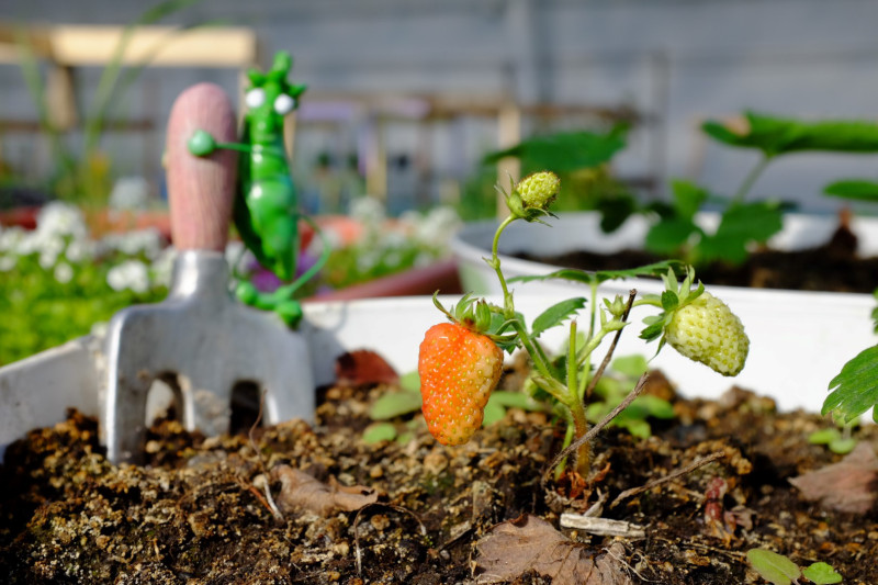 Strawberries grow in the Inuvik Greenhouse. (Mia Bennett)