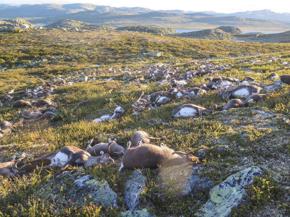 In this image made available by the Norwegian Environment Agency on Monday Aug. 29 2016, shows some of the more than 300 wild reindeer that were killed by lighting in Hardangervidda, central Norway on Friday Aug. 26, 2016 in what wildlife officials say was a highly unusual massacre by nature. (Havard Kjotvedt /Norwegian Environment Agency, NTB scanpix, via AP)
