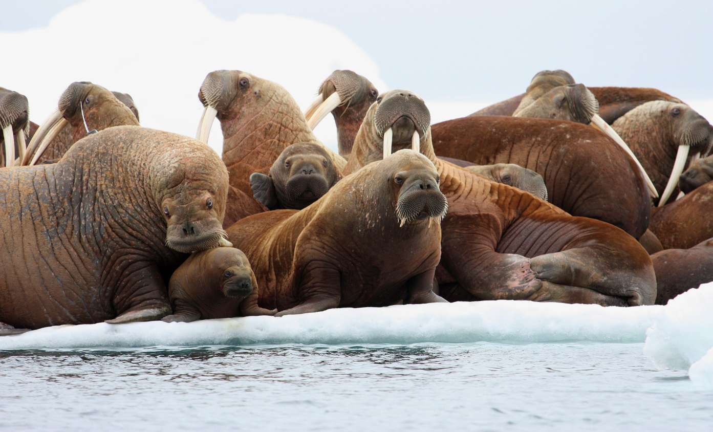 Adult female walruses rest on an ice flow with young walruses in the Eastern Chukchi Sea, Alaska on July 17, 2012. (S.A. Sonsthagen/U.S. Geological Survey via AP, File)