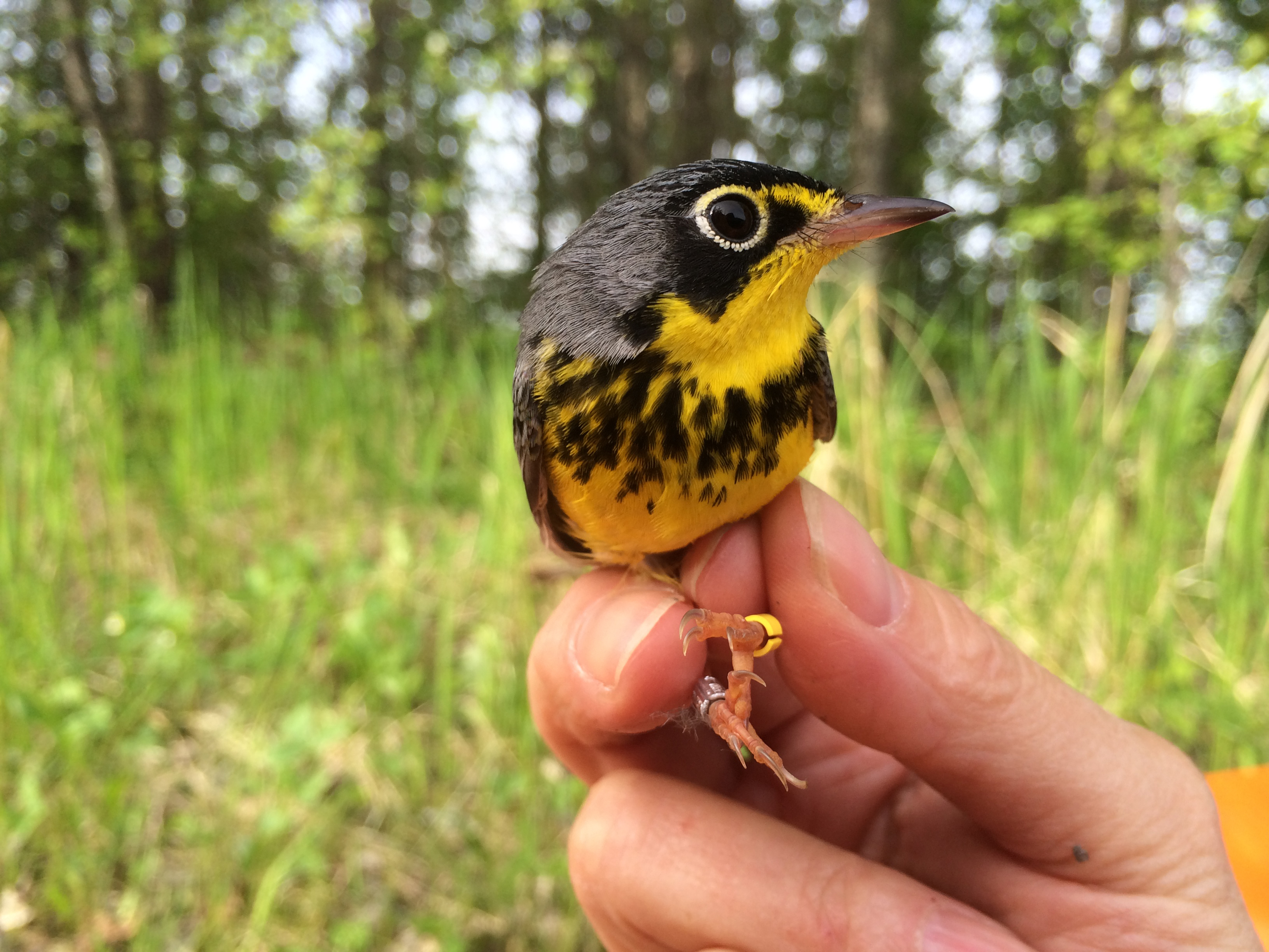 A researcher in Manitoba, Canada holds a Canada Warbler that has been fitted with a geolocator and leg bands. (Kevin Fraser/Courtesy Boreal Songbird Initiative)
