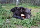 Finland's autumn cull nets 40 bears in opening weekend