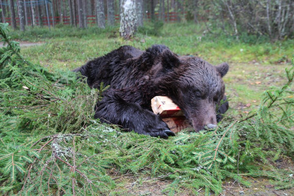 This year officials distributed a total of 47 licenses to hunt bears in the northern Karelia region. ( Anu Rummukainen / Yle)