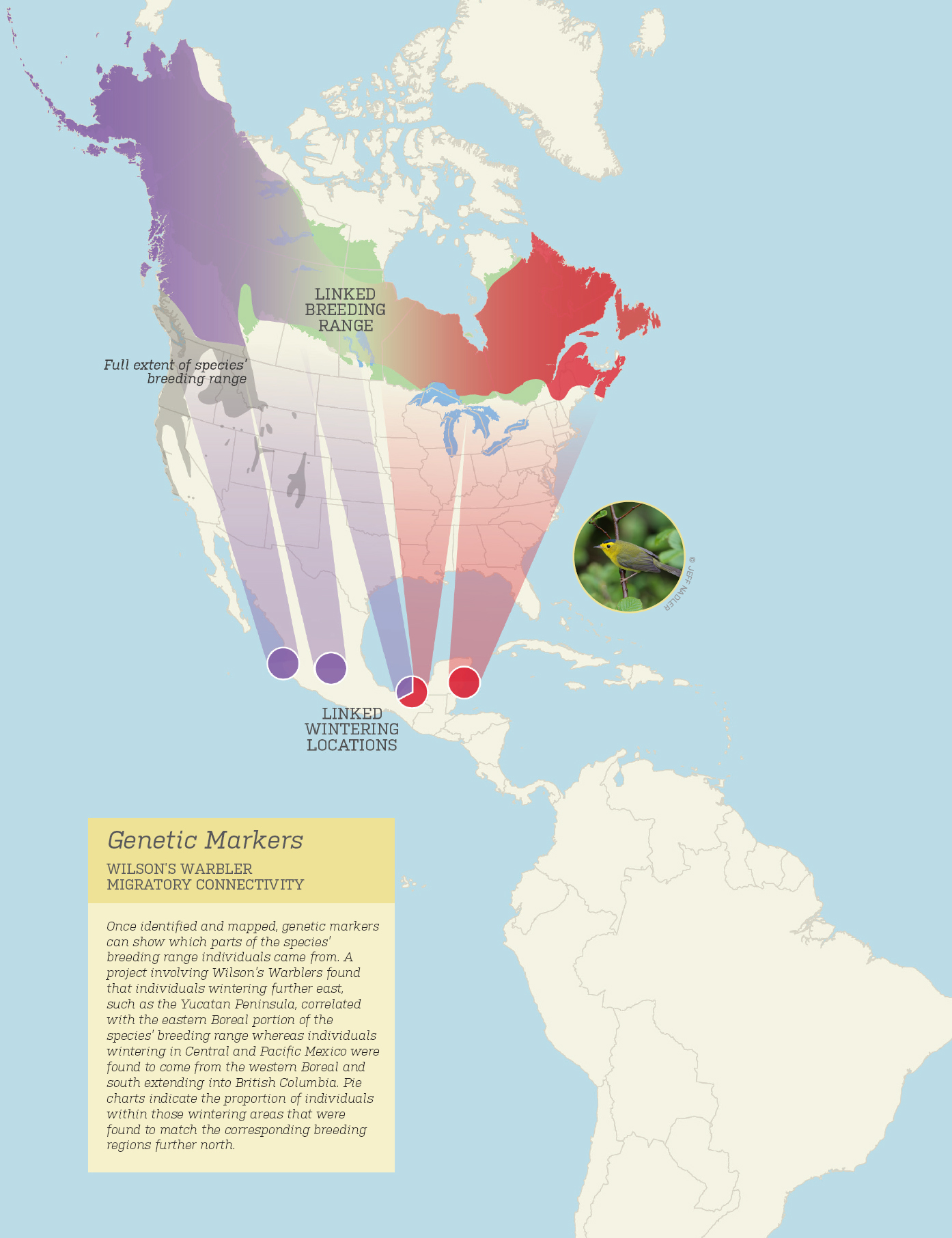 An illustration of wintering areas that were found to match corresponding breeding regions further north. (Boreal Songbird Initiative)