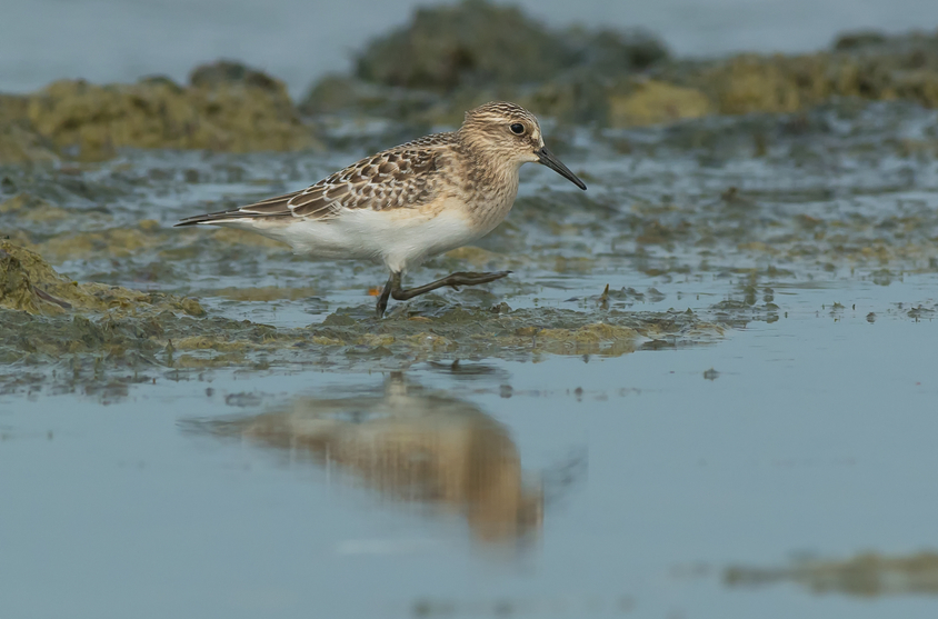 The Baird's sandpiper is among the shorebirds expected to lose habitat to climate change in the future.(iStock)