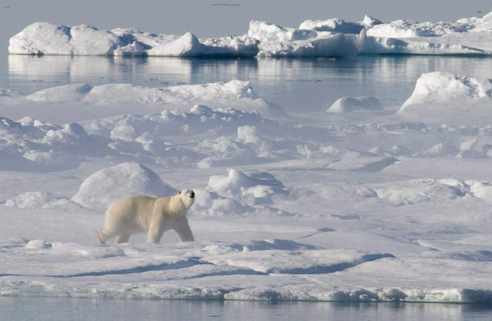 A polar bear stands on a ice flow in Baffin Bay above the arctic circle as seen from the Canadian Coast Guard icebreaker Louis S. St-Laurent on July 10, 2008. (Jonathan Hayward / THE CANADIAN PRESS)