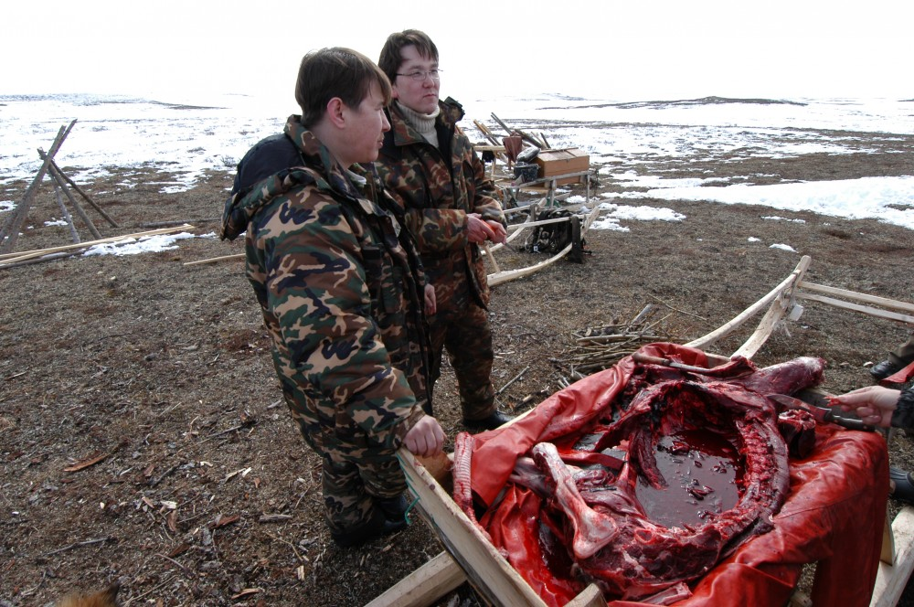 The indigenous peoples of the Russian north do not only eat the meat of the reindeer, but also use other parts of the animal in their traditional diet. (Thomas Nilsen / The Independent Barents Observer)