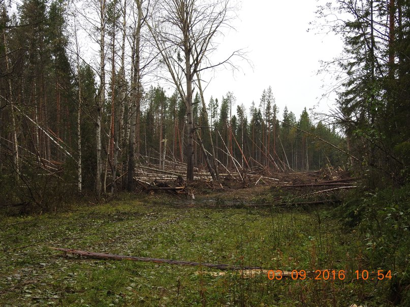 Trees lie scattered in a circle several hundred meters in diametre. (Photo courtesy of the Pinega municipality)