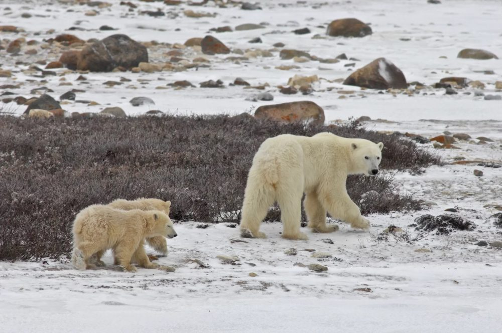 Hudson shore near Churchill, Nov. 2015. Cubs are born in dens in the early spring. They will stay with their mother for about two years as she teaches them how to hunt seals. To do that they must have sea-ice and as the ice free season lengthens more bears will die of slow starvation. (Andrew Derocher / University of Alberta)