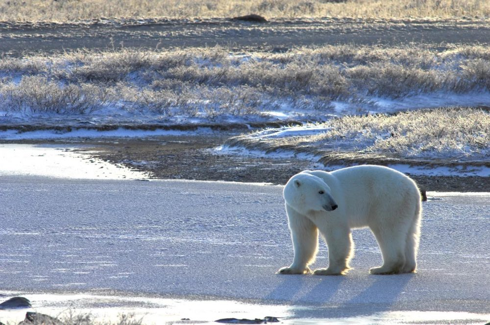 Churchill Manitoba, Nov. 2015. A thin bear testing the ice near shore. The new study shows land-based foods can never replace the rich seal meat the bears need. With shorter ice seasons, more bears will starve, and they may disappear completely from the Hudson region in a few decades. (Andrew Derocher / University of Alberta)