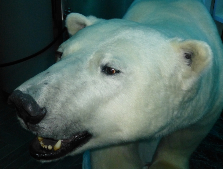 Polar bears only in the museum? (Irene Quaile/DW))
