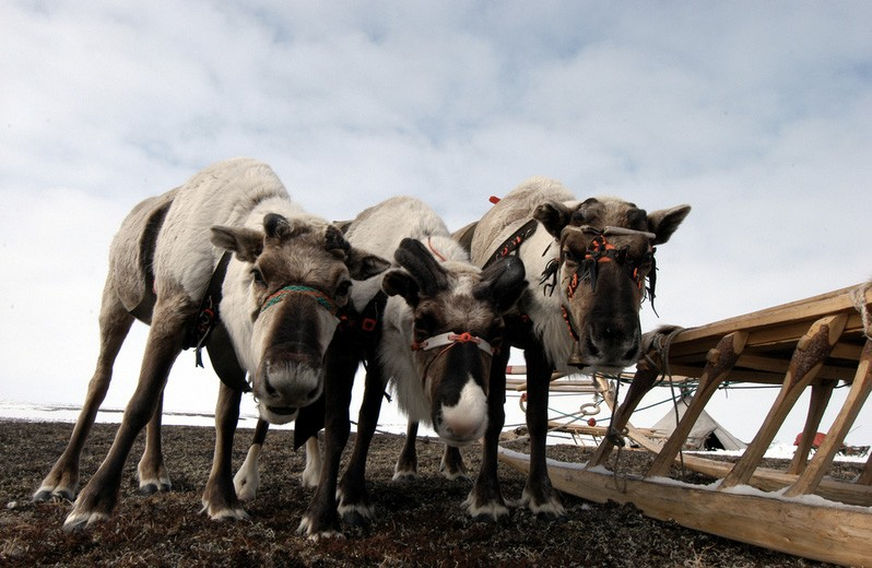 There are too many animals on the tundra, according to Yamal-Nenets authorities. (Thomas Nilsen / The Independent Barents Observer)