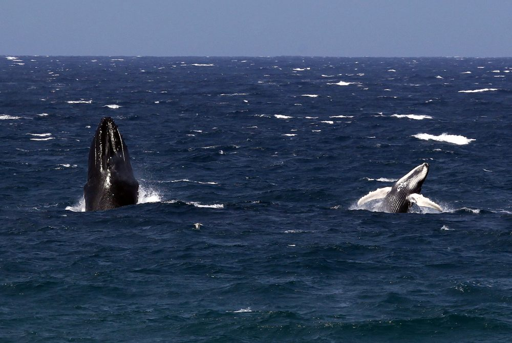 A Humpback whale and her calf breach together off the New South Wales coast at Mollymook Beach, located south of Sydney November 4, 2014. (David Gray / REUTERS)