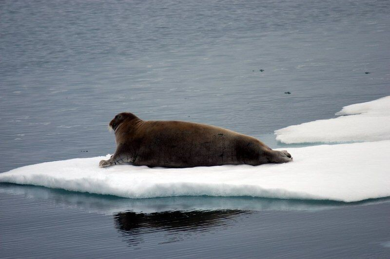 Only 2007 had less sea ice by the end of the season than this year. (Thomas Nilsen / The Independent Barents Observer)