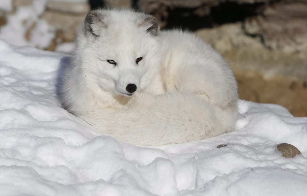 Nola the arctic fox curls up on the snow, at Denver Zoo. (Brennan Linsley/AP Photo)