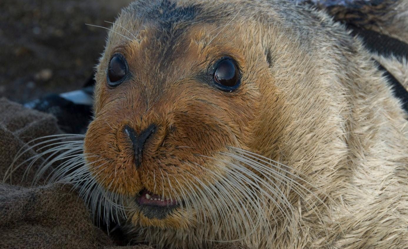 A bearded seal in Kotzebue, Alaska in 2006. (Michael Cameron/NOAA Fisheries Service via AP/The Canadian Press)