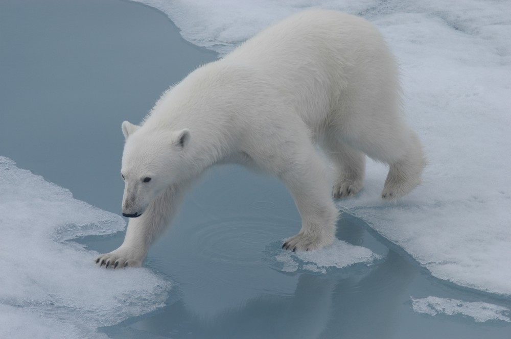 Arctic sea ice is melting and the polar bear finds it harder to hunt for seals. (Thomas Nilsen/The Independent Barents Observer)