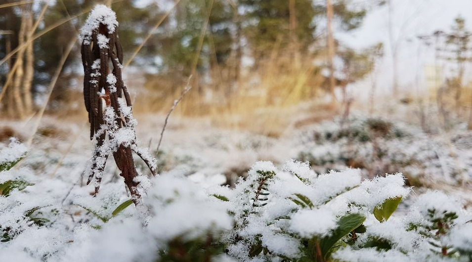 Some areas of Lapland are covered in a thin layer of snow but it's not yet enough to be officially be called the season's first snow. ( Jonne Järvinen / Yle)