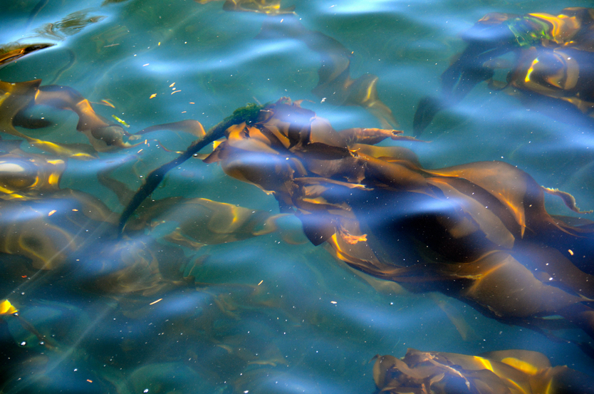 Will a fledgling kelp farm industry take off in Alaska? (iStock)
