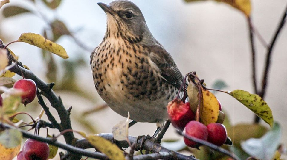 The fieldfare is a member of the thrush family that breeds in Finland, but moves south for the winter. (Stina Siren / Yle)