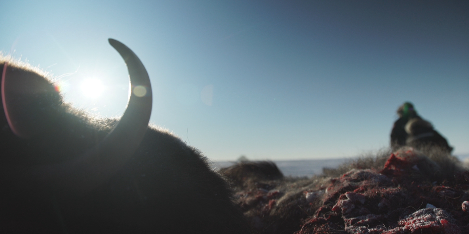 Sick muskoxen are increasingly common on Victoria Island say hunters. (Eye on the Arctic)