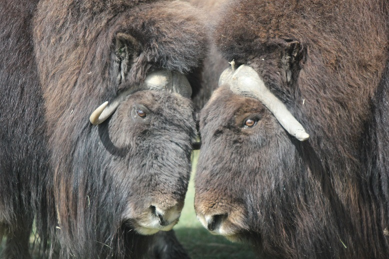 "Muskoxen are ice age relics. ""Genetically muskoxen are very unique, there is really nothing closely related to them,"" says veterinarian Susan Kutz. The mukoxen above are pictured at the Calgary Zoo in Alberta, Canada and are descendants of island muskoxen, the type found on Victoria Island. (Eye on the Arctic)"