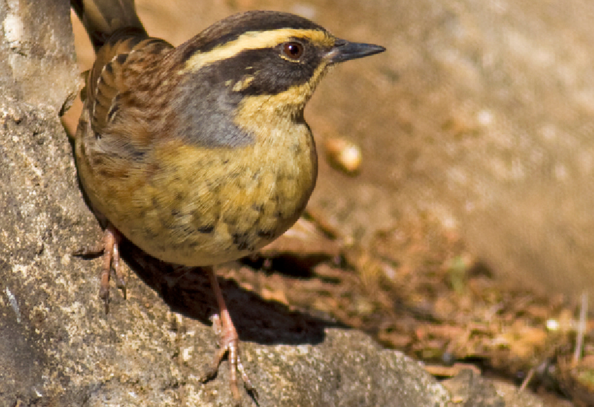 For unknown reasons, the Siberian accentor (pictured above) is being found in Finland by the thousands. (iStock)