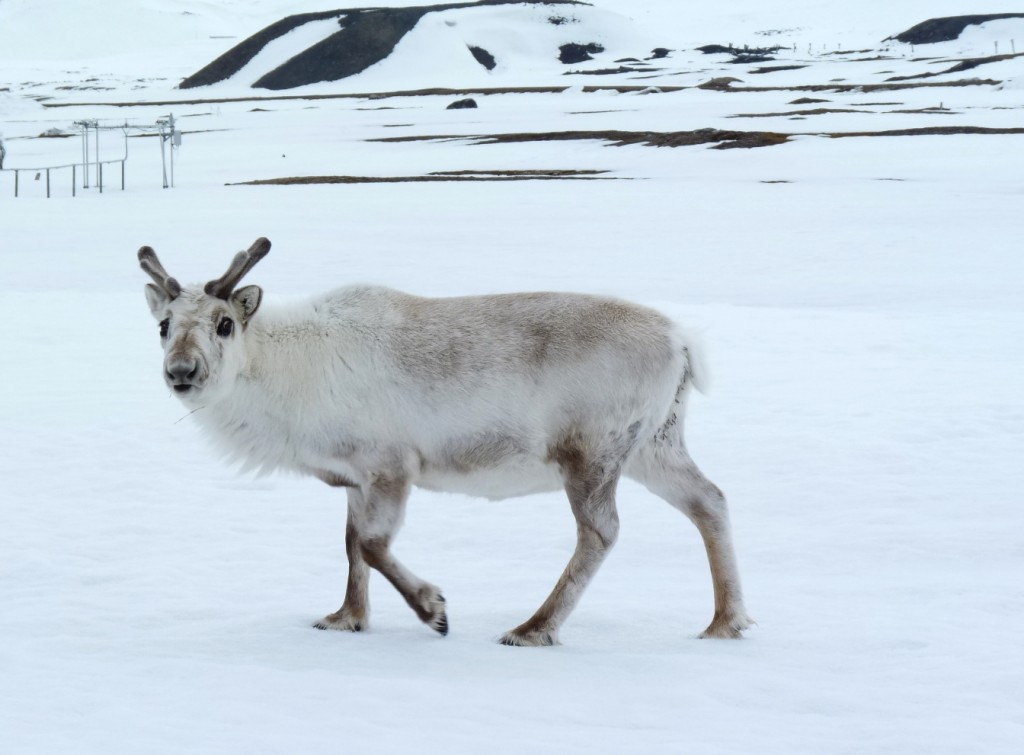 Svalbard's sturdy reindeer are adapting to climate change. In Siberia, thousands of animals have died of starvation. (Irene Quaile/Deutsche Welle)