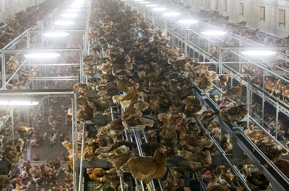 Chicken are pictured lock in a poultry farm in Bergentheim November 10, 2016 following the discovery of bird flu among wild birds in Europe. (Vincent Jannink/AFP/Getty Images)