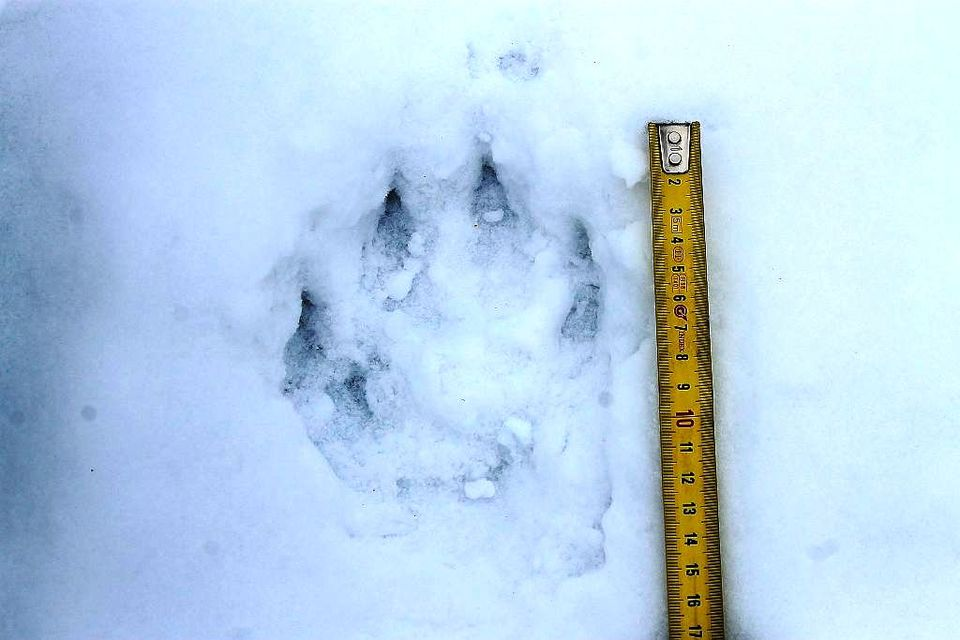A wolf track in the snow from Yle's archives. (Yle)