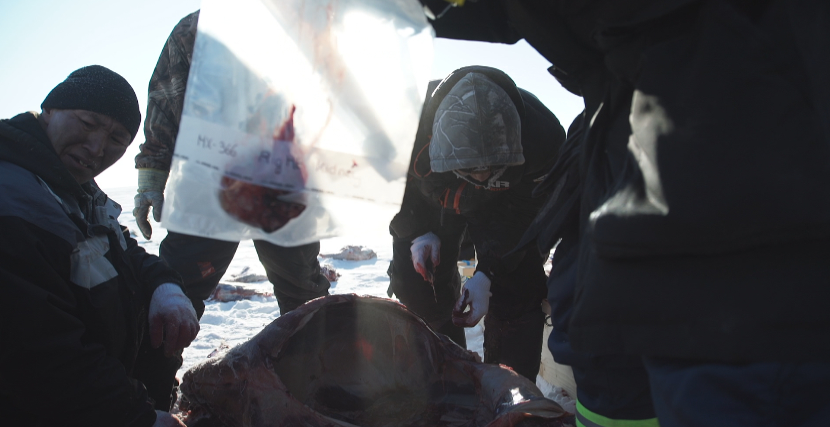 Hunters from the Arctic Canadian community of Cambridge Bay, Nunavut and researchers from the University of Calgary collect samples from a muskox on Victoria Island. (Eye on the Arctic)