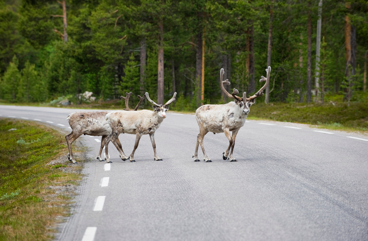 2016 has been a record year for accidents involving wildlife on Sweden's road network. (iStock)