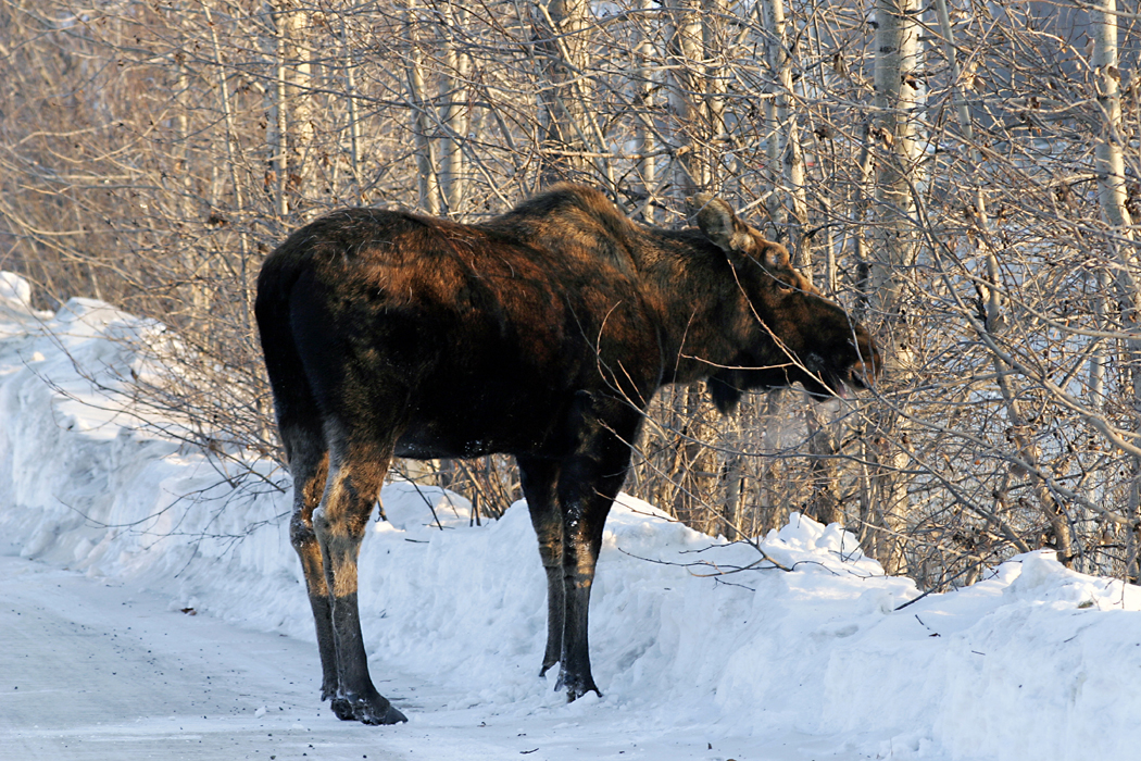 alaska-experiments-with-new-moose-counting-method